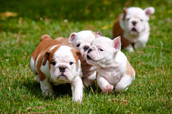 english bulldog puppies playing outdoors