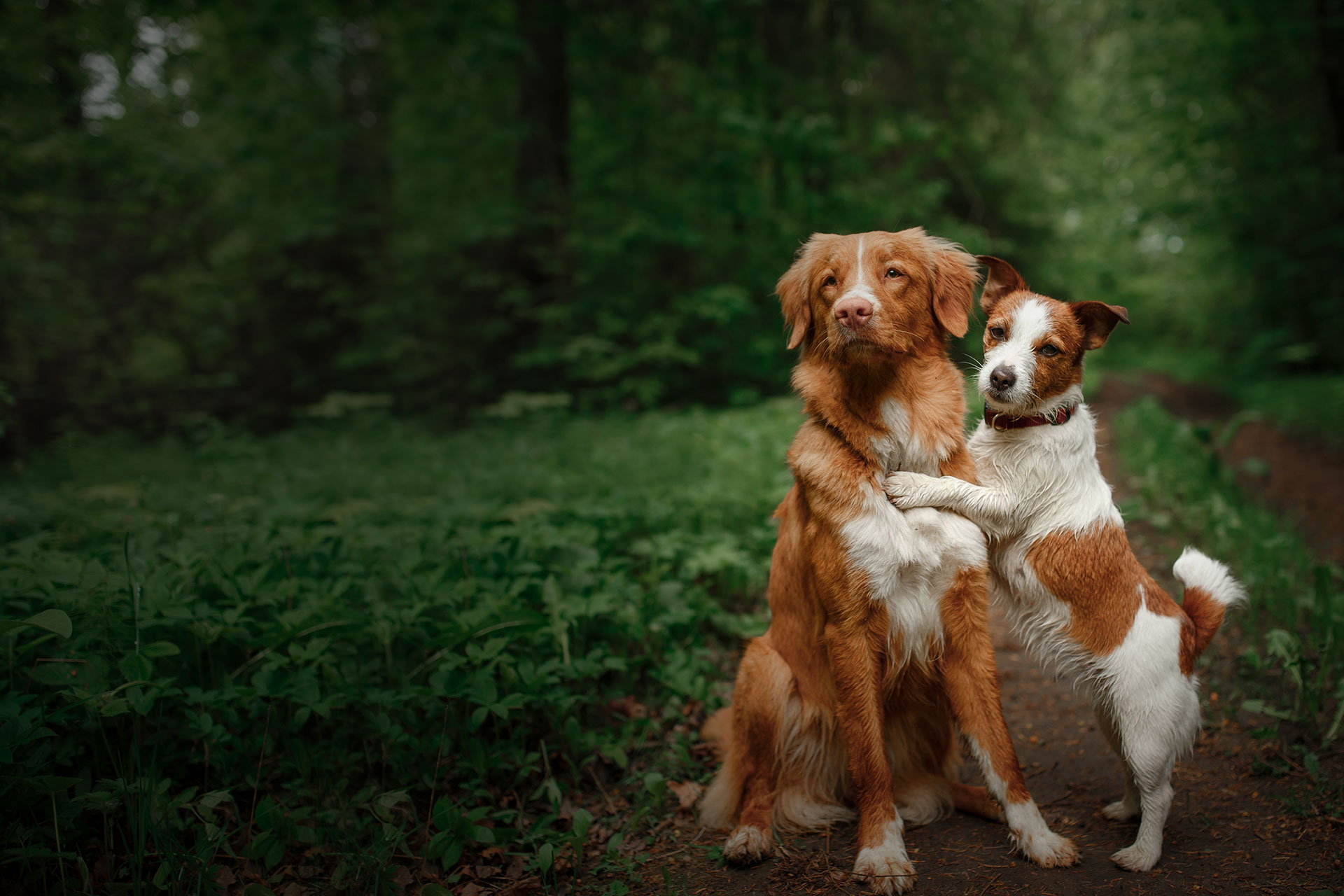 Dog Jack Russell Terrier and Nova Scotia Duck Tolling Retriever walking white flowers in the orchard.