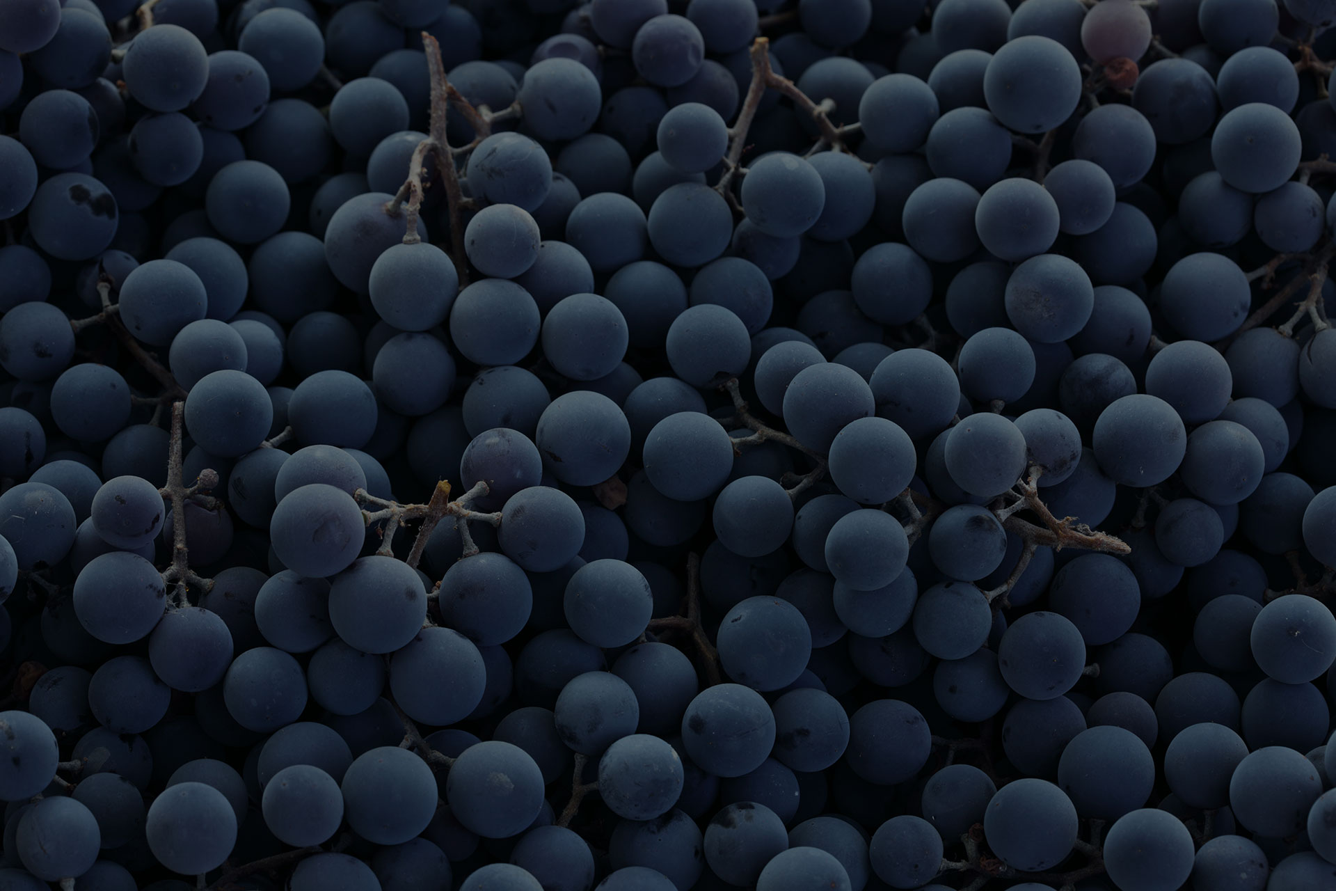 dark grapes/ blue grapes/ wine grapes