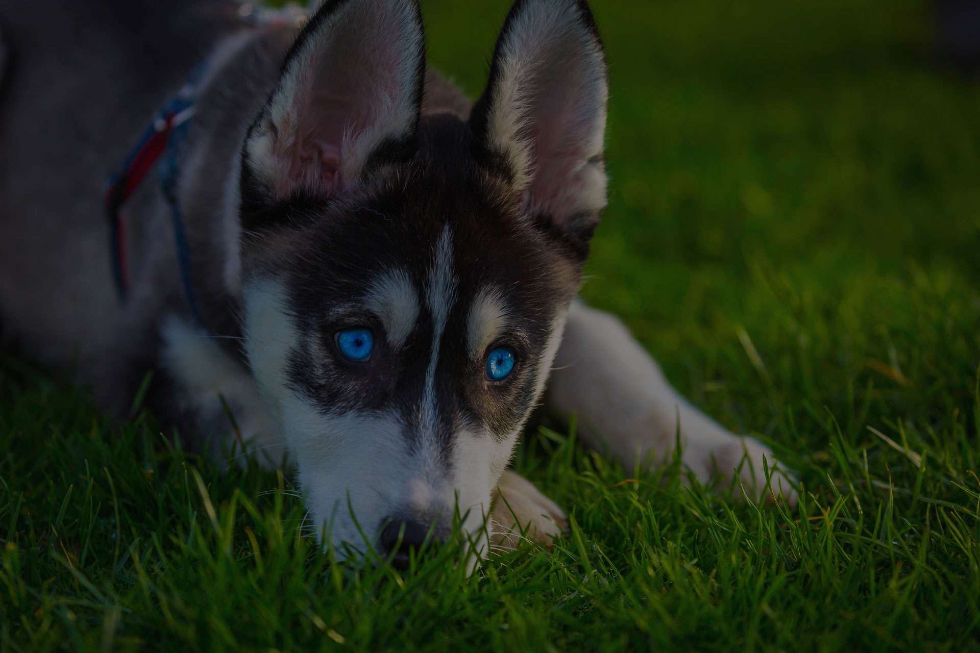 Adorable black and white with blue sleepy eyes Husky puppy lying on grass